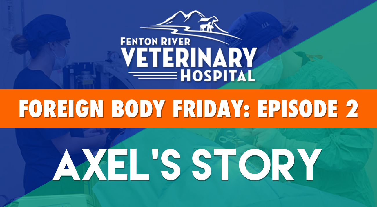 fenton river vet foreign body friday episode 2 axel's story